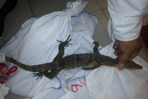日本女子走私被捕 行李箱藏31只龟23条蜥蜴