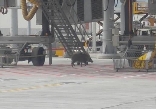 野猪闯香港机场停机坪 与大批特警展开追逐战